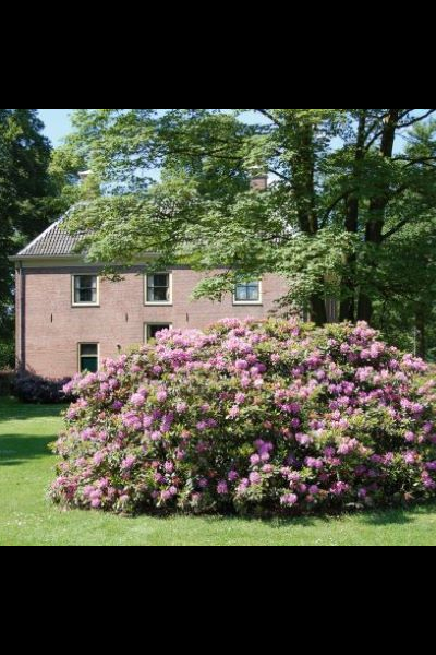 rhododendron-toef
